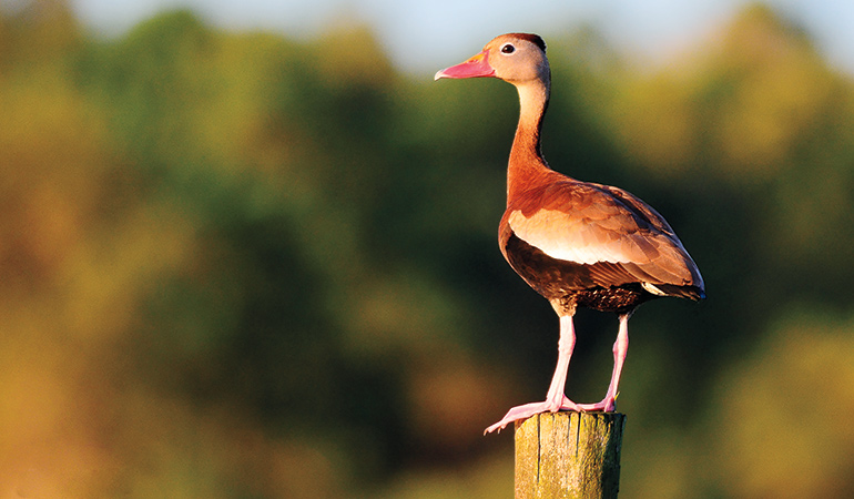 How to Hunt Black-Bellied Whistling Ducks