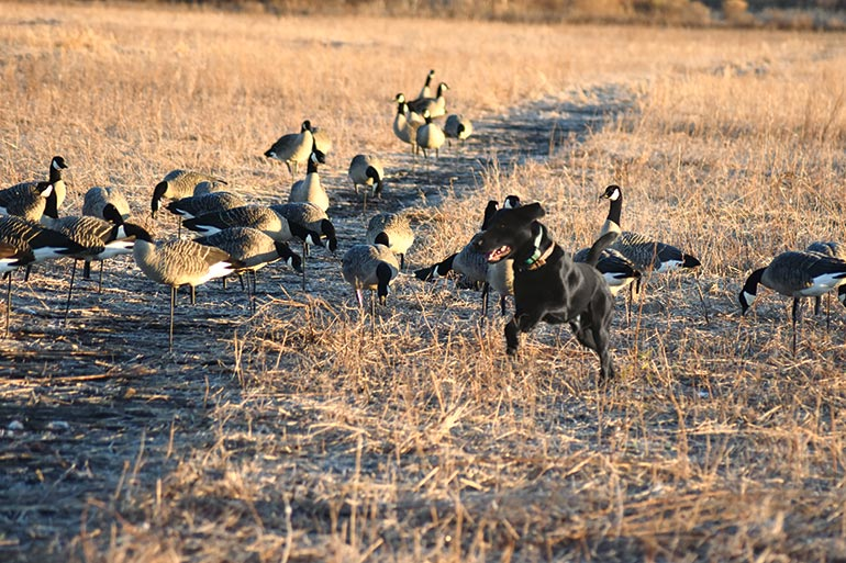 black lab running in field with Canada decoys