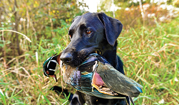 Develop the duck dog of your dreams by paying attention to neurological needs.