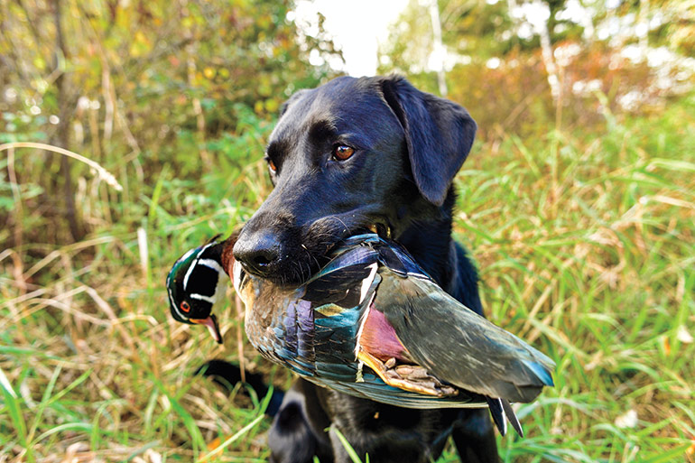 Early Neurological Stimulation for Better Duck Dogs
