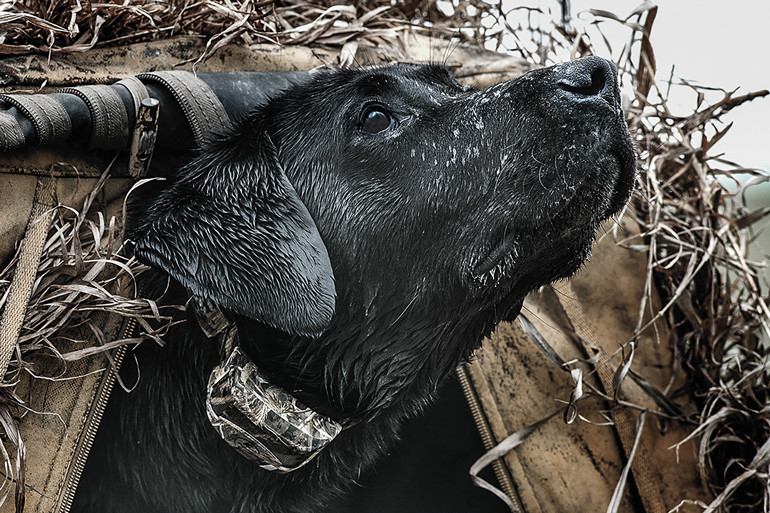 black-lab-in-hunting-blind.jpg