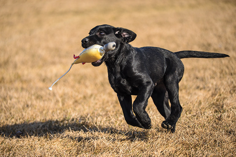 black lab puppy running with dummy in mouth