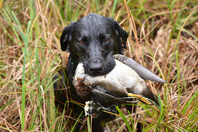 black lab retrieving duck in long grass