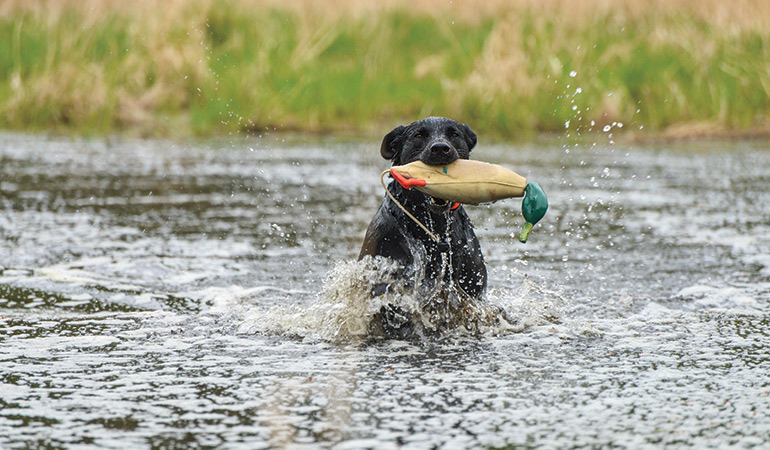Training Gun Dogs for Double & Triple Retrieves