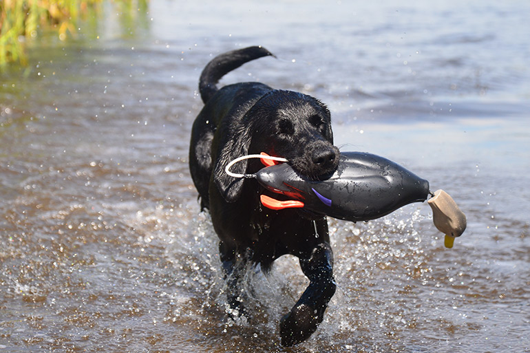 black lab retrieving dummy from water