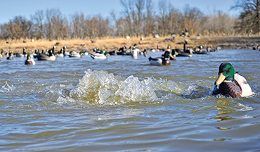 There is no bigger advantage to killing greenheads in the late season than an open duck hole.