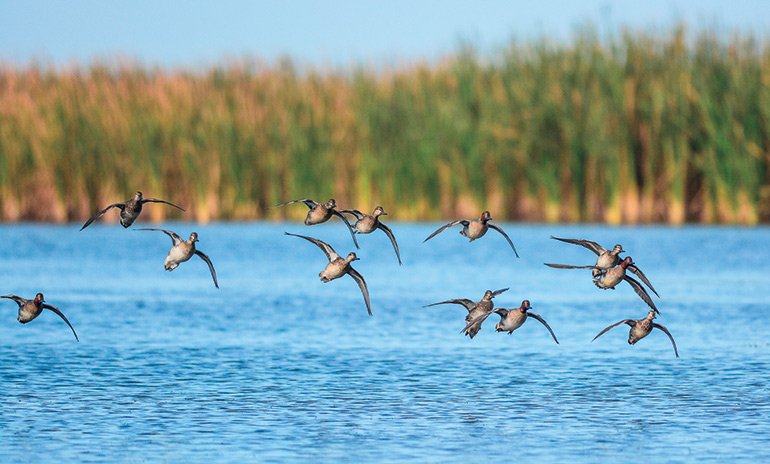 group of ducks flying over water