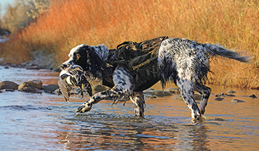 A dainty English setter suited for the uplands has the drive for waterfowl.