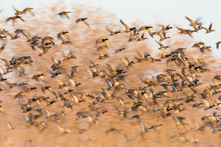 huge group of ducks in flight