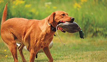 Follow these tips to help your hunting dog maintain a healthy weight and avoid joint problems.