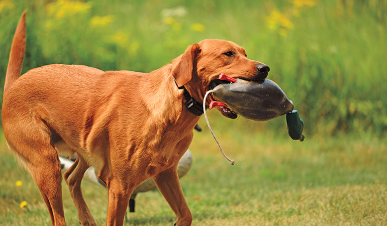Keep Your Gun Dog Fit to Prevent Joint Pain
