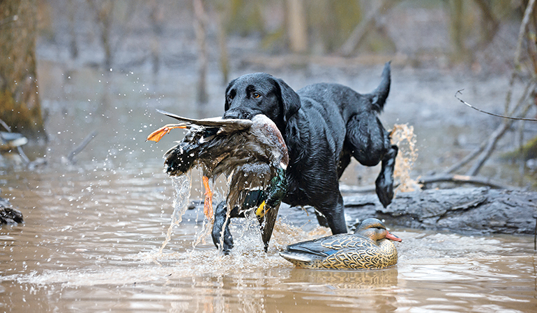 Gun Dog First Aid in the Field