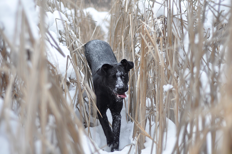 lab walking through winter cattails