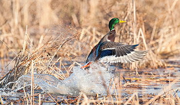 Massive flooding throughout the Midwest have hurt crops and could mean a slow duck season.