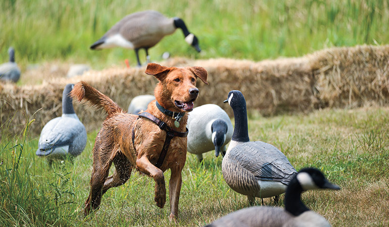 Gun Dog Nutrition & Intelligence