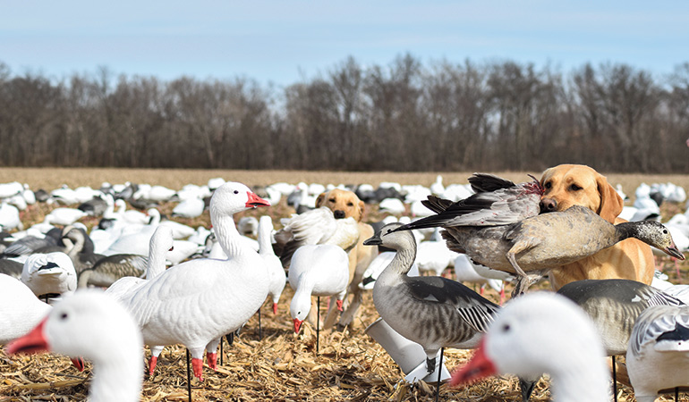 yellow labs retrieving snow geese among decoys