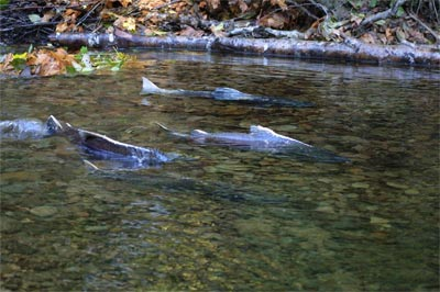 Seeking Protection For Klamath Salmon