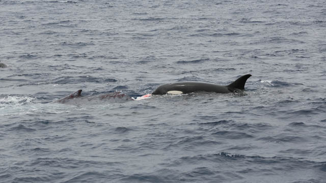 Photo Gallery: Killer Whale Attack