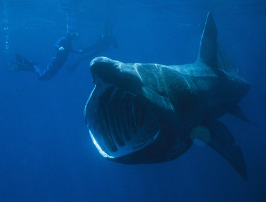 Basking Shark diver