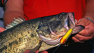 Topwater bassin' fanatics have a saying: 'Catching one bass on a topwater lure is worth 10 on anything else.'