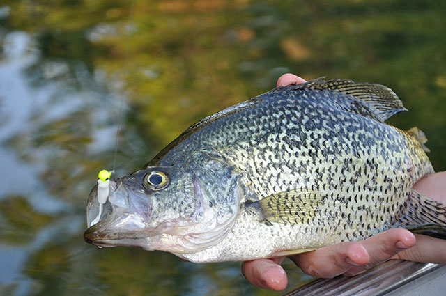 Sight-Fishing Tips for Crappie and Panfish