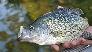 Spring crappie and sunfish can be caught in great numbers by sight fishing, even in less-than-clear water; here's how to find them.