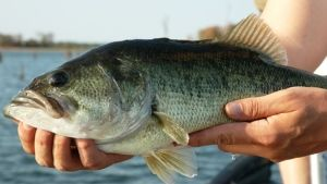 The opportunity for fly anglers to tangle with a double-digit largemouth does exists; look no further than the state of Texas in the months of March through May.