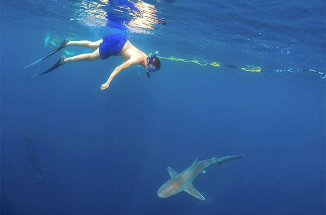 Cageless diver with shark