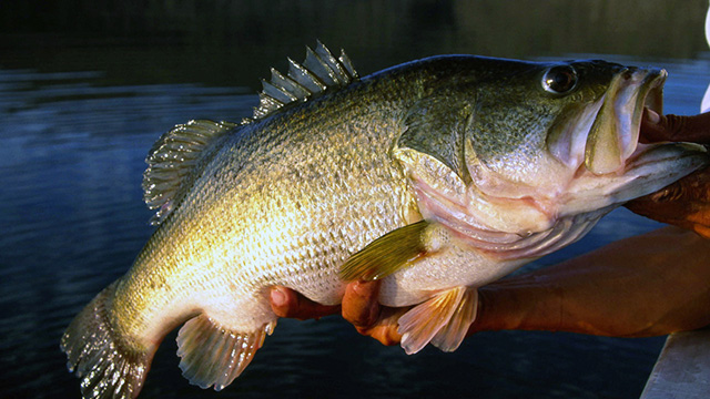 4 South of the Border Lakes for Over 10-Pound Hawgs