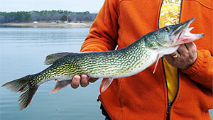 In some states, chain pickerel are popular sportfish, in others, anglers call them 'snakes' and regard them with equal apprehension.