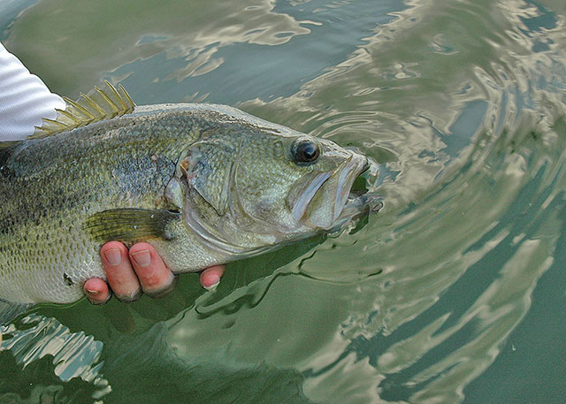 Catch and release largemouth bass