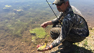 If you know what you're looking for, bluegill beds – spawning areas teeming with bream, are easy to spot.