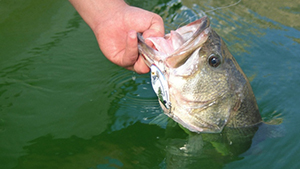 Few bass lures offer the versatility of lipless crankbaits; anglers can use them at all depths, in muddy water and clear, during all seasons and in almost any cover.