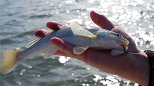 Whiting is one of many common names for a little marine fish others call channel mullets, sea smelt or kingcroakers, but the official common name is kingfish.