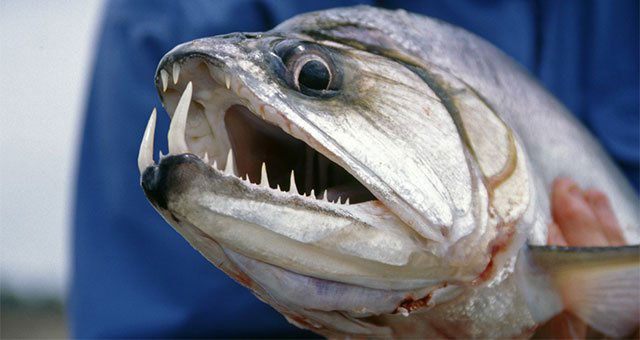 8 Fish with Teeth You Don't Want to Lip