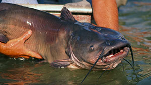 Although it may be tempting to hang on to that trophy catfish, next time you may want to consider tossing it back.