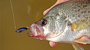 Spoons are among the best lures for catching crappie on deeper structure and cover in winter.