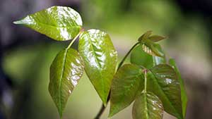 Being able to identify poison ivy is an important skill for every person who spends time outdoors.