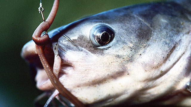 Your Guide to the Best Catfish Baits